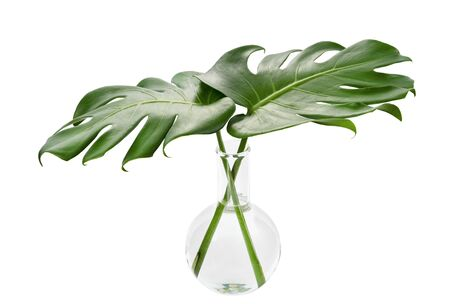 Monstera deliciosa leaf in a Round-bottom flask, Tropical foliage in laboratory glassware isolated on white background,