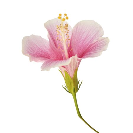 Hibiscus or rose mallow flower, Tropical pink flower isolated on white background