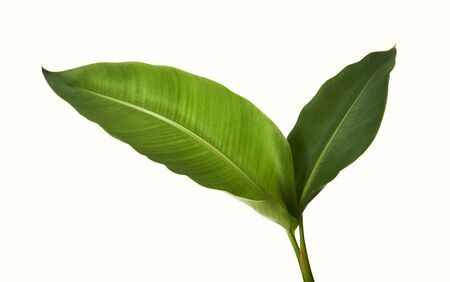 Strelitzia reginae, Heliconia, Tropical leaf, Bird of paradise foliage isolated on white background, with clipping path