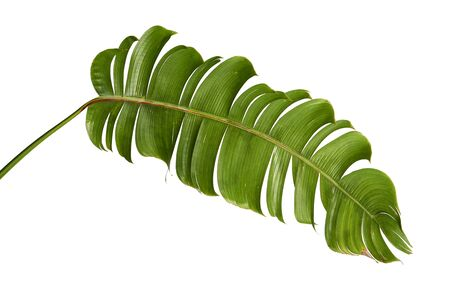 Heliconia chartacea leaves,Tropical leaf, Bird of paradise foliage isolated on white background, with clipping path