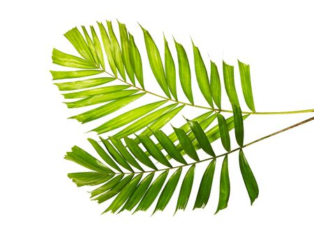 Macarthur palm leaves, Tropical foliage isolated on white background with clipping path