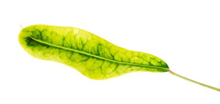 Codiaeum variegatum (garden croton or variegated croton) foliage, Croton leaves isolated on white background with clipping path