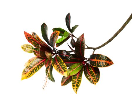 Codiaeum variegatum (garden croton or variegated croton) foliage with flowers, Croton leaves on branch isolated on white background with clipping path 版權商用圖片