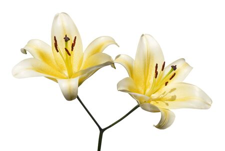 Yellow lily flowers, Lilium oriental hybrids blossom, isolated on white background, with clipping path 版權商用圖片