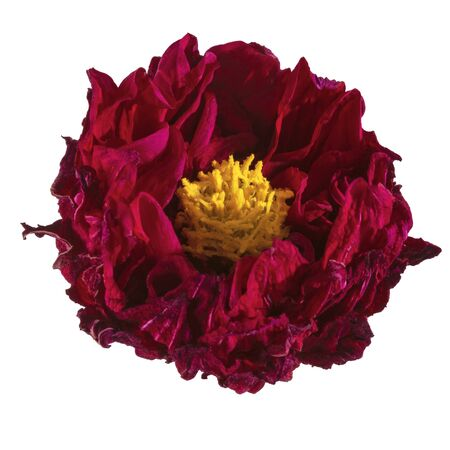 Dahlia flower dried, Red dahlia flower with yellow pollen isolated on white background, with clipping path