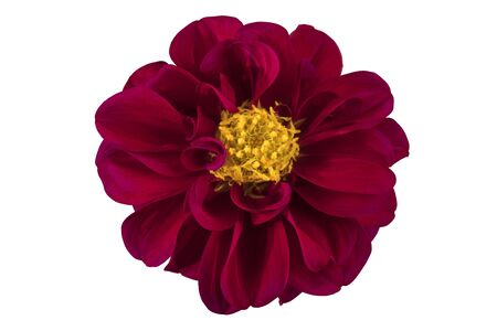 Dahlia flower, Red dahlia flower with yellow pollen isolated on white background, with clipping path