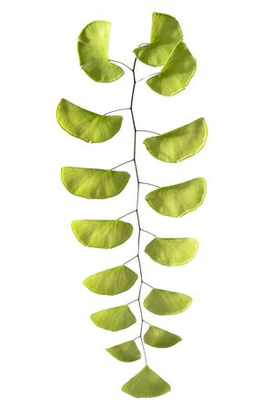 Black maidenhair fern, Adiantum philippense leaves, Fern isolated on white background with clipping path