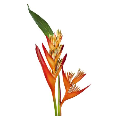 Heliconia psittacorum flower with leaf, Tropical orange flower isolated on white background, with clipping path