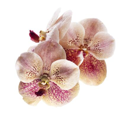 Moth orchid, Orchid flower, Phalaenopsis orchid isolated on white background, with clipping path 版權商用圖片