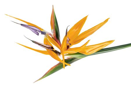 Strelitzia reginae flower, Bird of paradise flower, Tropical flower isolated on white background, with clipping path