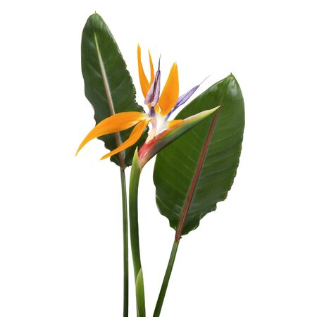 Strelitzia reginae flower with leaves, Bird of paradise flower, Tropical flower isolated on white background, with clipping path
