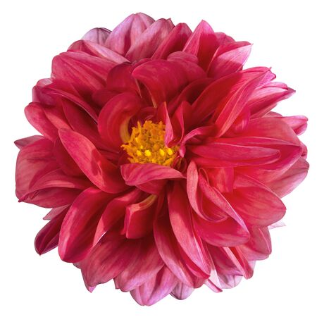 Dahlia flower, Pink dahlia flower with yellow pollen isolated on white background, with clipping path