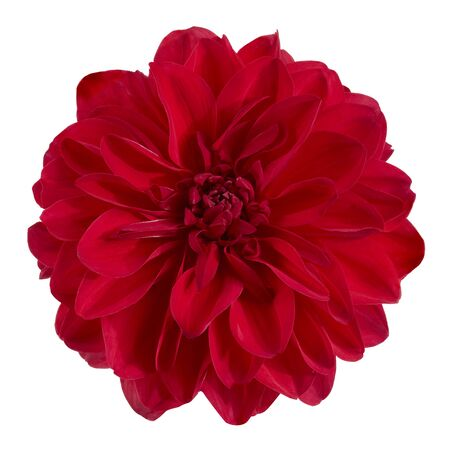 Dahlia flower, Red dahlia flower isolated on white background, with clipping path 版權商用圖片