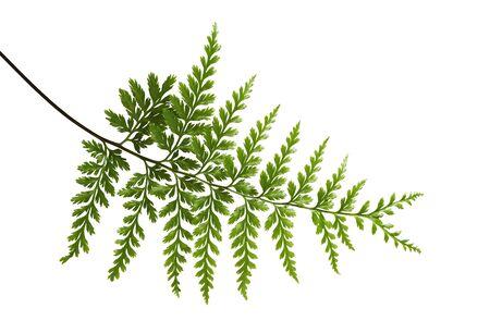 Fern leaf, Ornamental foliage, Fern isolated on white background, with