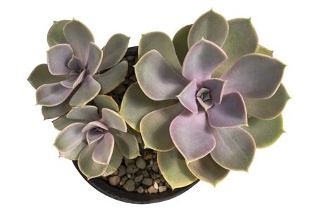 Echeveria perle von nurnberg, Purple echeveria cactus in pot, Top view, isolated on white background with Banco de Imagens