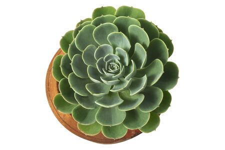 Echeveria imbricata cactus in clay pot, Blue rose cactus, Top view, isolated on white background with