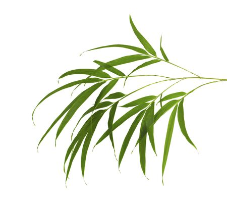 Bamboo foliage with stems, Green leaves isolated on white background, with