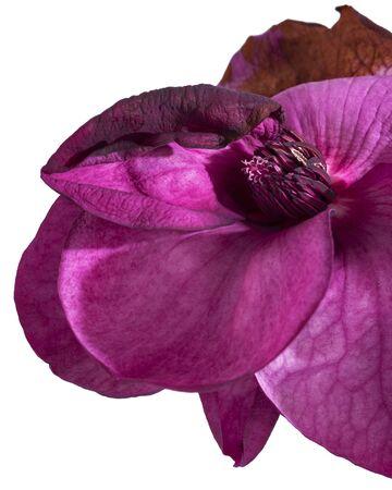 Purple magnolia flower, Magnolia felix isolated on white background