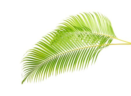 Yellow palm leaves, Golden cane palm, Areca palm leaves, Tropical foliage isolated on white background with