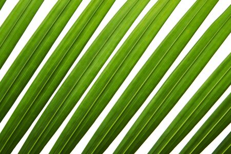 Yellow palm leaves, Golden cane palm, Areca palm leaves, Tropical foliage isolated on white background with 版權商用圖片