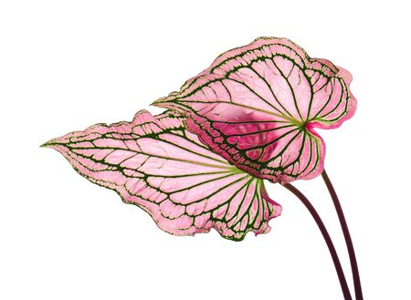 Caladium bicolor with pink leaf and green veins (Florida Sweetheart), Pink Caladium foliage isolated on white background, with