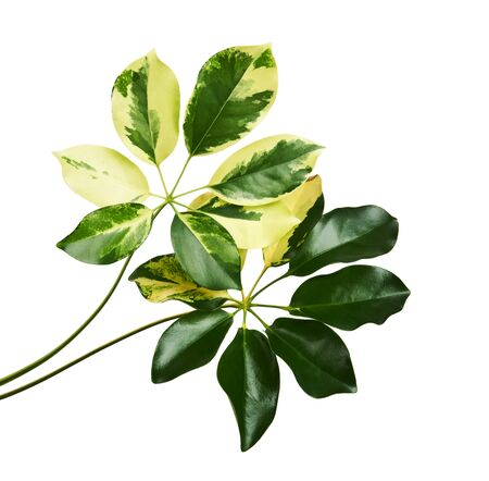 Schefflera variegated foliage Gold Capella, Exotic tropical leaf, isolated on white background with