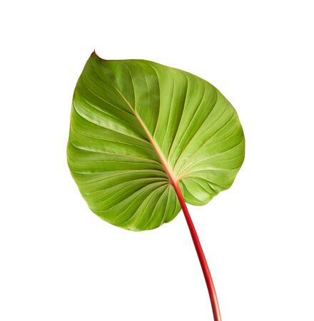 Homalomena foliage, Green leaf with red petioles isolated on white background