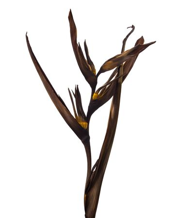 Dry Heliconia psittacorum (Golden Torch) flowers, Tropical flowers dried isolated on white background