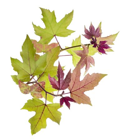 foliage, Green maple leaves, isolated on white background