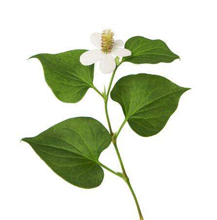 Fish mint, Fish leaf with flower isolated on white background, with clipping path