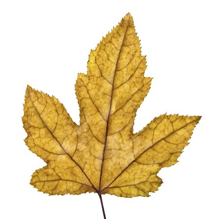 Acer foliage, Colorful maple leaves, isolated on white background with