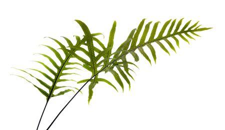 Wart fern leaf, Ornamental foliage, Fern isolated on white background