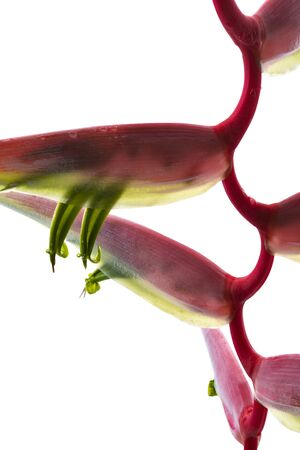 Heliconia chartacea flower, Tropical flowers isolated on white background