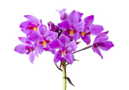 Purple orchid, Philippine ground orchid, Tropical flowers isolated on white background