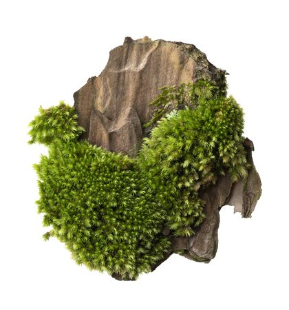 Moss or Mosses on a pine bark, Green moss on a tree bark isolated on white background