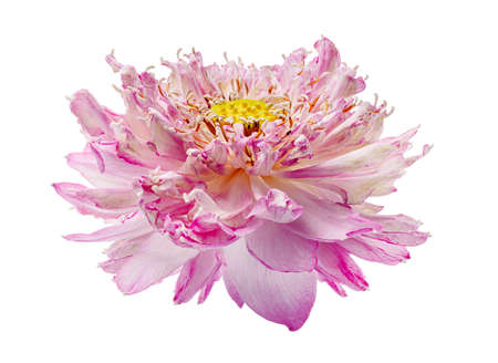 Lotus flower, Close up of Pink lotus flower blooming isolated on white background