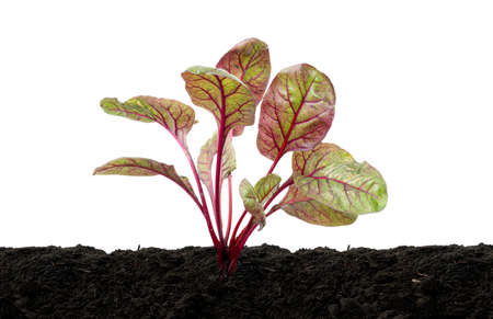 Chard or Swiss chard vegetable, Young chard plant growing in soil, isolated on white background