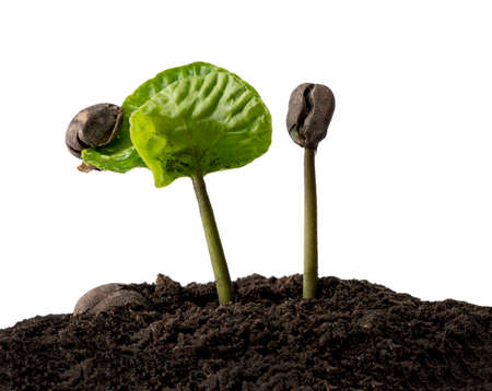 Coffee beans germinating, Coffee bean seedling in soil ground isolated on white background with clipping path