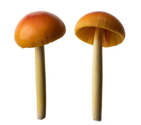 Amanita hemibapha mushroom, Wild mushroom isolated on white background, with clipping path Фото со стока