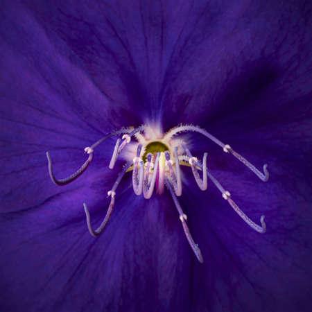 Close up of Malabar melastome flowers, Tropical purple flower background Фото со стока