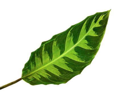 Calathea warszewiczii leaf, Tropical foliage isolated on white background