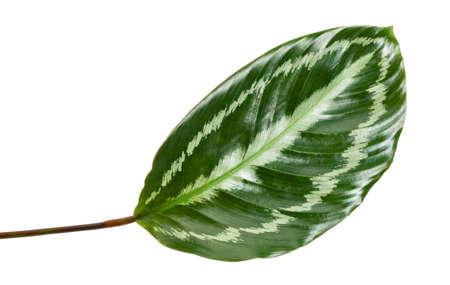 Calathea picturata leaf, Tropical foliage isolated on white background Фото со стока