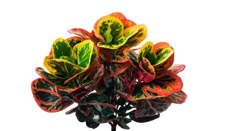 Codiaeum variegatum foliage, Croton leaves on branch isolated on white background
