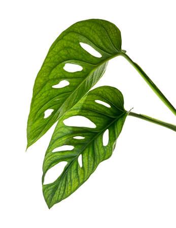Monstera obliqua leaves, Tropical foliage  isolated on white background