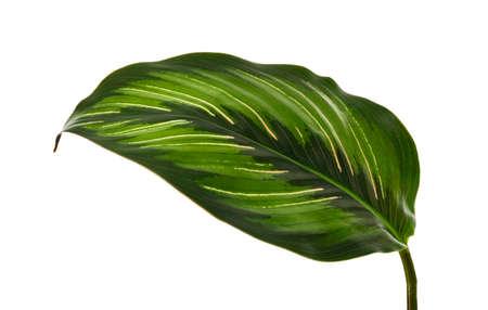 Calathea 'beauty star' foliage, Exotic tropical leaf isolated on white background