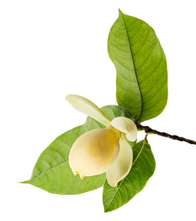 Magnolia liliifera flower with leaves, Egg magnolia flower isolated on white background Reklamní fotografie