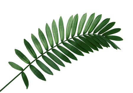 Cardboard palm or Zamia furfuracea or Mexican cycad leaf, Tropical foliage isolated on white background, with clipping path