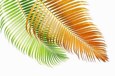 Yellow palm leaves (Dypsis lutescens) or Golden cane palm, Areca palm leaves, Tropical foliage isolated on white background with clipping path