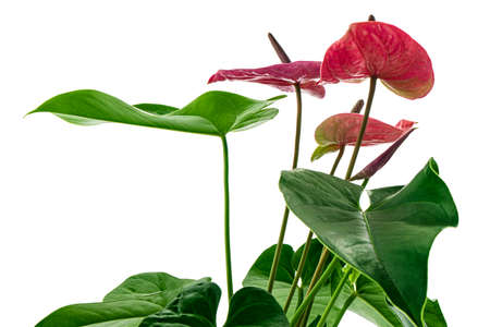 Flamingo flower or Anthurium utah plants with flowers and leaves isolated on white background, with clipping path Stock Photo