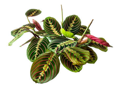 Maranta leuconeura leaves, Prayer plant, Exotic tropical shrubs, isolated on white background with clipping path Фото со стока